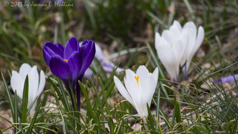 Crocuses in Philly